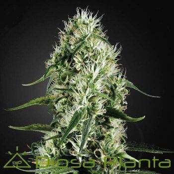Super Silver Haze de Green House Seeds