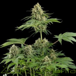 Moby Dick (Dinafem Seeds)