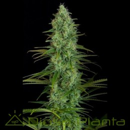 Critical Jack (Dinafem Seeds)