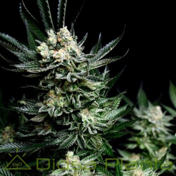 Critigal+ (Absolute Cannabis Seeds)