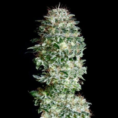 Absolute Herer (Absolute Cannabis Seeds)