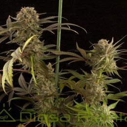 Blue Kush (Dinafem Seeds)