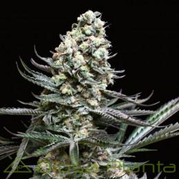 Nordés (Absolute Cannabis Seeds)