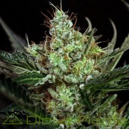Rittus Haze (Absolute Cannabis Seeds)