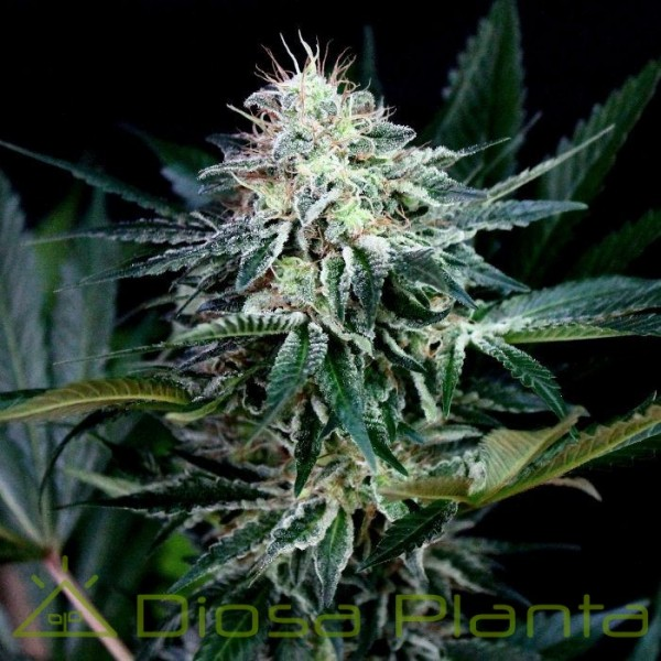 Radical Auto (Absolute Cannabis Seeds)