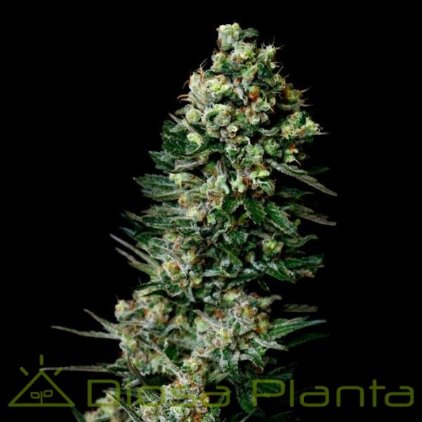 Chocolute F2 (Absolute Cannabis Seeds)