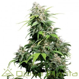 California Indica Regular (Sensi Seeds)