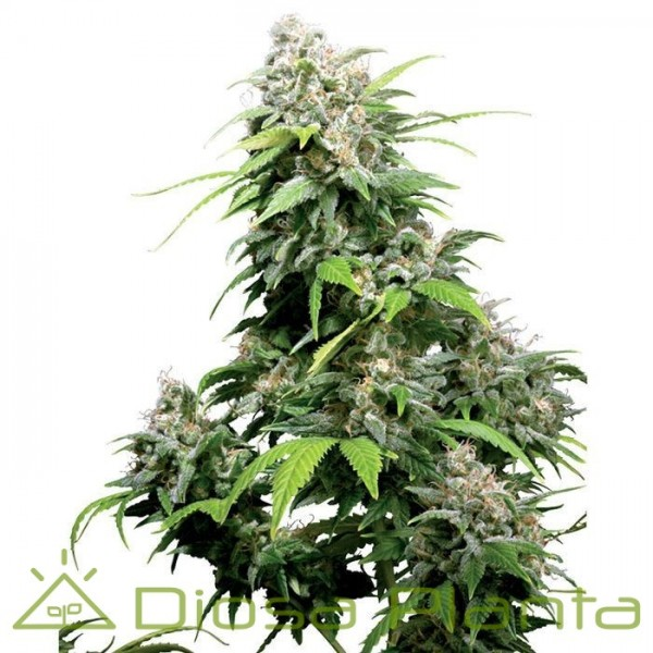California Indica (Sensi Seeds)