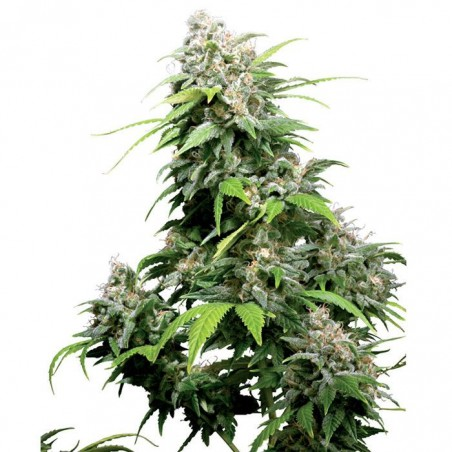 California Indica Regular (Sensi Seeds)