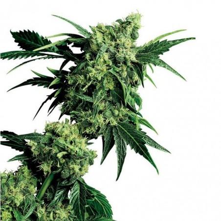 G13 x Hashplant (Sensi Seeds)