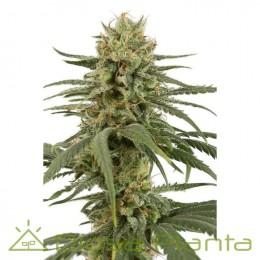Amnesia CBD (Dinafem)