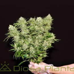 Dinachem (Dinafem Seeds)