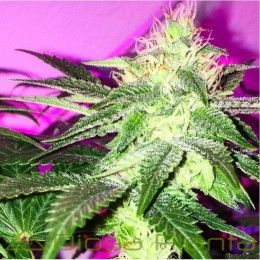 Sour Ripper (Ripper Seeds)