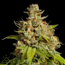 Durban Poison (Dutch Passion)