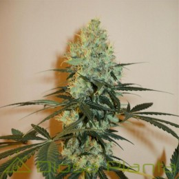 Master Kush (Dutch Passion)