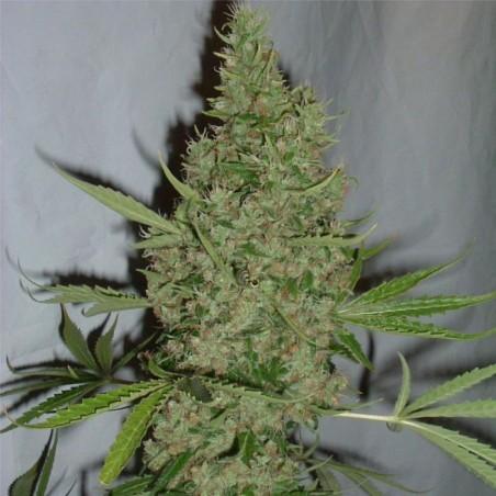 Orange Bud (Dutch Passion)