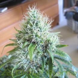 Dutch Dragon (Paradise Seeds)