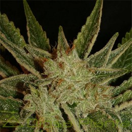 Bubble Gum regular (Serious Seeds)