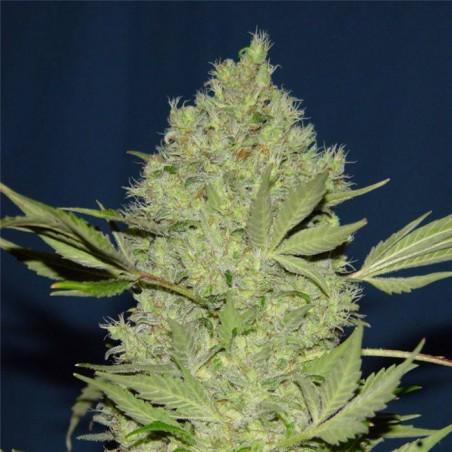 Chronic regular (Serious Seeds)