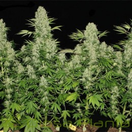 Kali Mist regular (Serious Seeds)