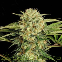 Motavation regular (Serious Seeds)