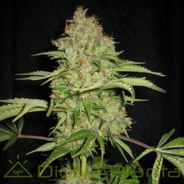 White Russian Auto (Serious Seeds)