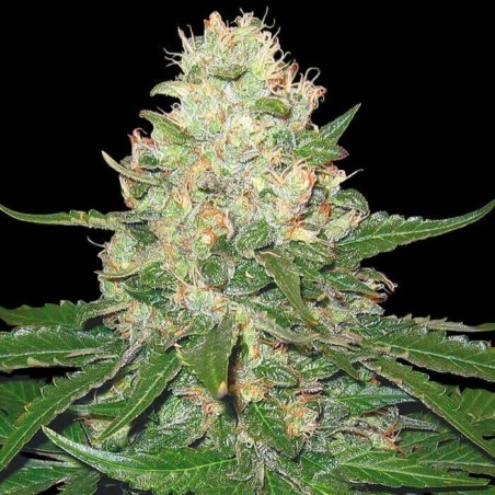Rocklock (DNA Genetics)