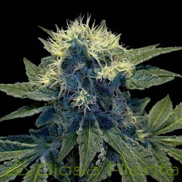 SharksBreath (DNA Genetics)