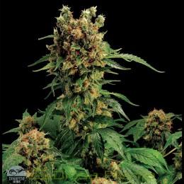 California Hashplant (Dinafem)