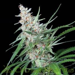 Utopía (Absolute Cannabis Seeds)