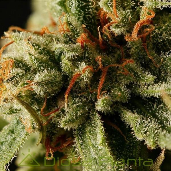 Sweet Deep Grapefruit (Dinafem)