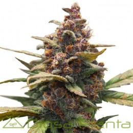 Ayahuasca Purple (Barney´s Farm)