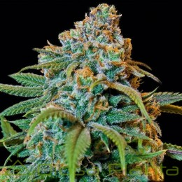 Liberty Haze (Barney´s Farm)