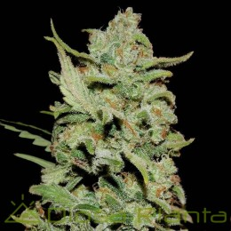 Peyote Critical (Barney´s Farm)
