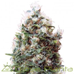 Phatt Fruity (Barney´s Farm)