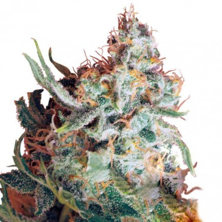 Red Dragon (Barney´s Farm)
