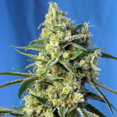 Sweet Amnesia Haze (Sweet Seeds)