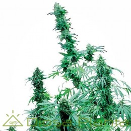 Early Skunk Feminizada (Sensi Seeds)