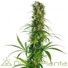 Michka LTD Feminizada (Sensi Seeds)