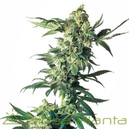 Nothern Light Feminizada (Sensi Seeds)
