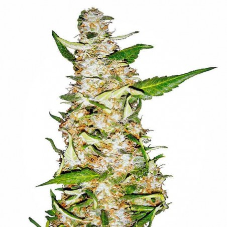 Skunk nº1 Automatic (Sensi Seeds)