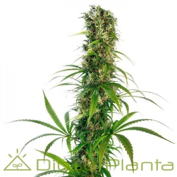 Mitchka LTD Regular (Sensi Seeds)
