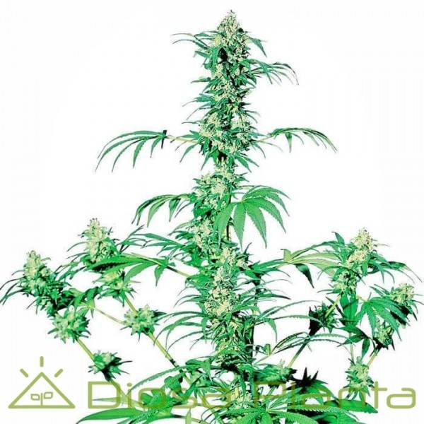 Early Girl Regular (Sensi Seeds)