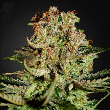 Super Bud (Green House)