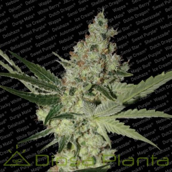Acid (Paradise Seeds)