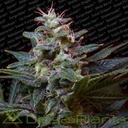 Sweet Purple (Paradise Seeds)