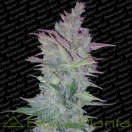Vertigo (Paradise Seeds)