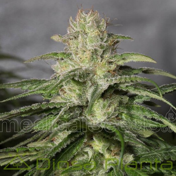 OG Kush CBD (Medical Seeds)