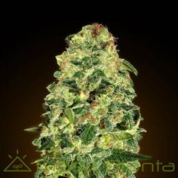 Auto California Kush (00 Seeds)