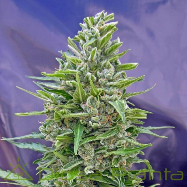 Automatic Mix (00 Seeds)